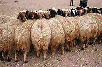 cluster of sheep